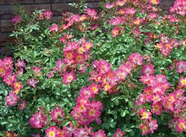 drift roses drift groundcover roses click here to see available varieties