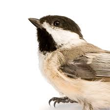 black capped chickadee national geographic