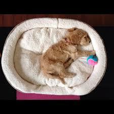 goldendoodle puppy treats 37 best goldendoodles images on adorable animals best