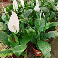 peace lilly peace online garden store affordable plants chlorofeel