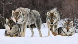 imagenes sorprendentes de lobos estructura de las manadas de lobos