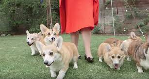 queen elizabeth dog the queen is cheating on her corgis this dog s life dog