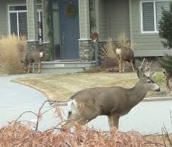poll question deer numbers in city limits sheridanmedia