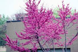 pink flower tree 13 flowering trees for year color hgtv