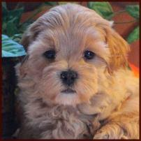 bichon frise for sale cheap mixed breed puppies puppy for sale toy non shed dog breeders iowa