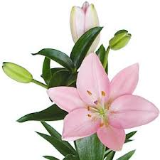 asiatic lilies pink asiatic