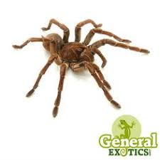 indian sapphire ornamental tarantula for sale poecilotheria