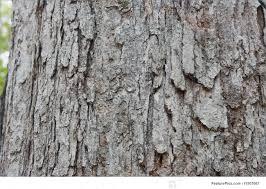 White Oak Tree Bark White Oak Bark Background Stock Picture I1507667 At Featurepics