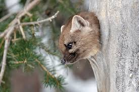 photo essay winter wildlife in yellowstone national park