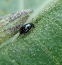 common kale issues u2013 diseases of kale and garden pests affecting