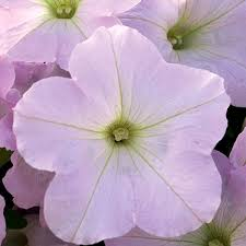 petunia flowers petunia f1 trilogy series american takii
