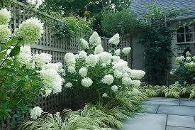 Trees With White Flowers Limelight Hydrangea Tree With White Flowers L Andscape Traditional