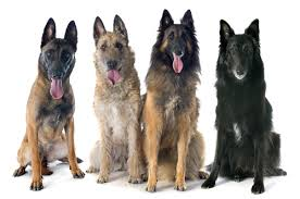 belgian shepherd vs doberman 5 things you didn u0027t know about belgian malinois u2013 iheartdogs com