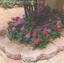 Pentas Flower 63 Best Flowers Pentas Images On Pinterest Flower Gardening