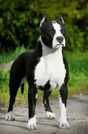 american pit bull terrier website american pitbull terrier or i could go with just a pittbull but