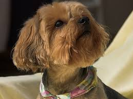 female yorkie haircuts styles 25 marvelous yorkie poo pictures slodive