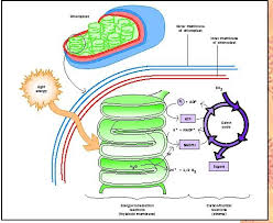 What Happens During The Light Reactions Of Photosynthesis Photosynthesis Biology Encyclopedia Body Process System