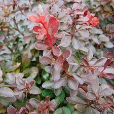 arbuste feuillage pourpre persistant berberis thunbergii atropurpurea nana epine vinette naine à