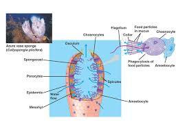Azure Vase Sponge Facts Animal Diversity Fig Animal Diversity Ch 32 Characteristics