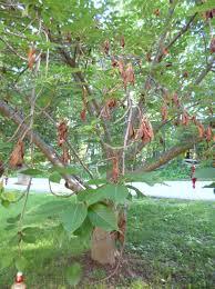 fireblight twig dieback on ornamental cherry trees leaves
