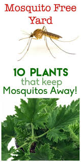 Best Backyard Bug Repellent 10 Plants That Keep The Mosquitos Away Insects Yards And Plants