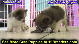 pomeranian puppies for sale in edmond oklahoma ok