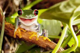 eyed tree frog jigsaw puzzle in puzzle of the day puzzles on