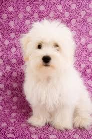 bichon frise 4 months old 22 best coton de tulear images on pinterest coton de tulear dog
