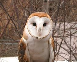 Where Does The Barn Owl Live Barn Owl Utah U0027s Hogle Zoo