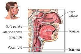 Anatomy And Physiology Of Speech Anatomy U0026 Physiology Dysphagia And Cleft Palate