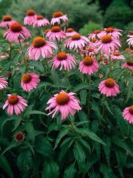 echinacea flower echinacea purpurea bluestone perennials