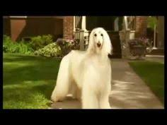 afghan hound puppies youtube pin by angela ponti on levriero afgano pinterest afghan hound