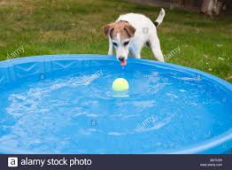 jack russell terrier in backyard with small wading pool and dog