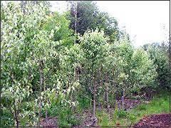 ornamental pear tree pyrus nivalis snow pear blerick trees buy