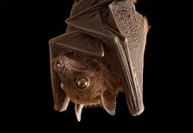 6 bat myths busted are they really blind