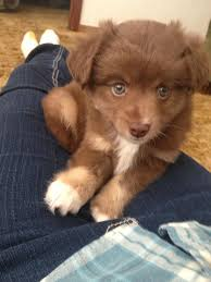a mini australian shepherd meet our friend toad a mini aussie that i u0027m going to try to train