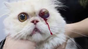 a 3 year old persian cat had an eyeball prolapse youtube
