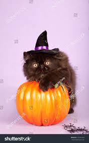 halloween black background pumpkin halloween black persian kitten witchs hat stock photo 127341599