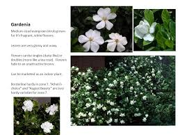 glossy abelia semi evergreen ppt video online download