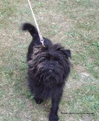 affenpinscher crufts 2016 anti docking dogs u0027 tails and cropping of dogs u0027 ears puppy sales
