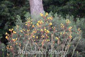 victorian native plants plants for clay soils native plant and revegetation specialists