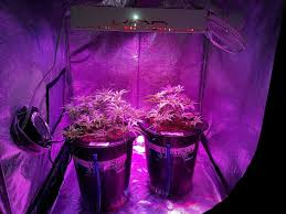 best light to grow pot two cannabis plants growing under an led grow light in a grow tent