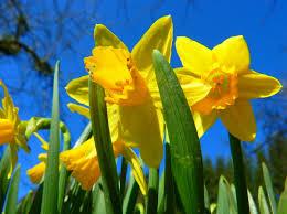 flowering bulbs offers ise garden centre kettering