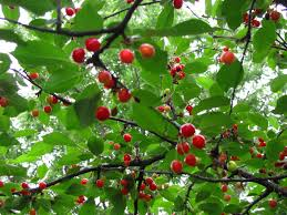Tree With Fruit That Looks Like Blackberries Tree Of The Day Blooming Fruit Cherry Tree Trees Trees