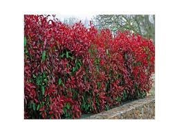 native hedging plants 25 photinia red robin hedging plants 15 25cm bushy hedge shrubs