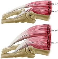 Anatomy Of The Shoulder Girdle Collection Of Biomechanics Resources Squat Bench Deadlift