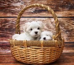 affenpinscher uk breeders toy dogs