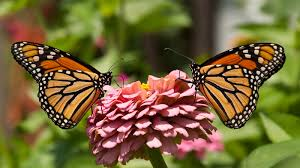 for the of a butterfly the