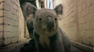 the longer i look at koalas the less real they seem album on imgur