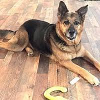 belgian malinois rescue va sterling va pet adoption virginia german shepherd rescue has